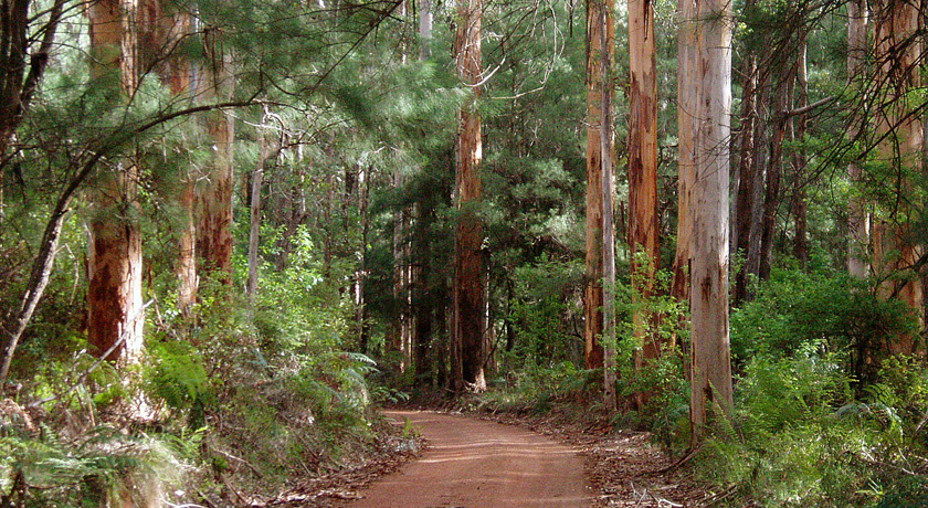 Fabulous Karri forests are unique to Australia's South West