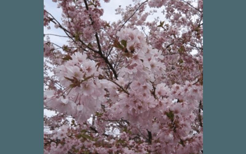 Prunus fiore