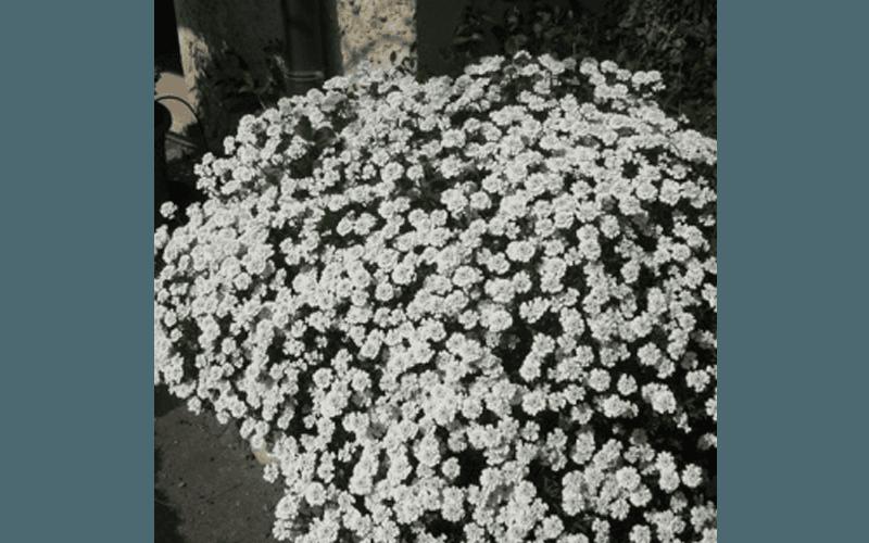 Iberis in fiore