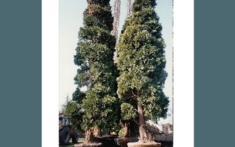 Vendita di alberi maestosi