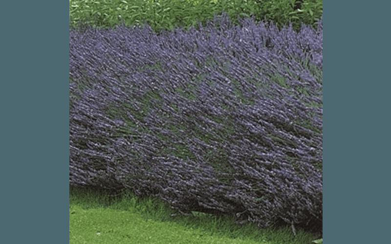 Lavanda fiorita