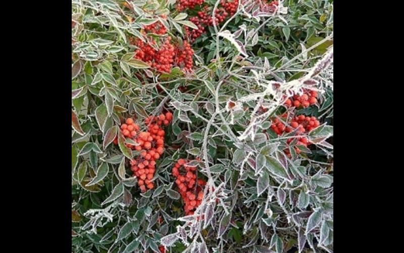 Nandina Domestica Inverno