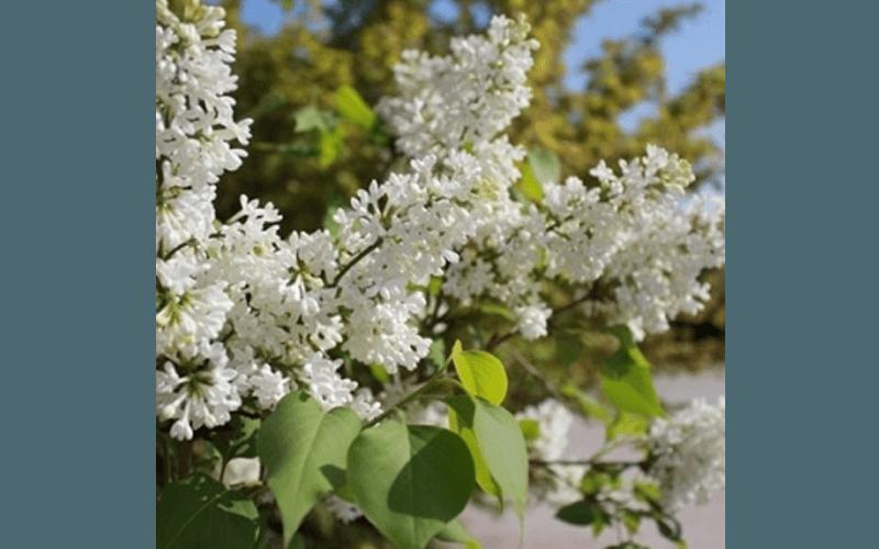 Syringa Vulgaris fiorita