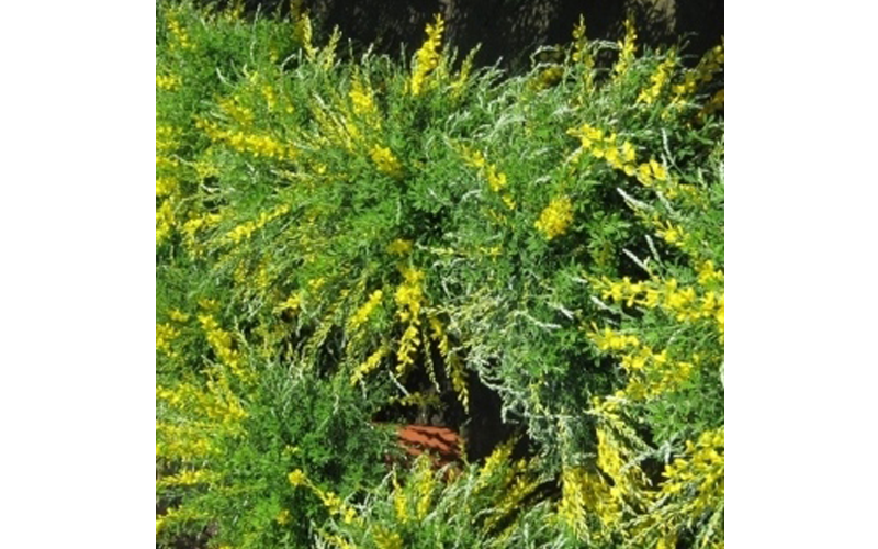 Cytisus in fiore