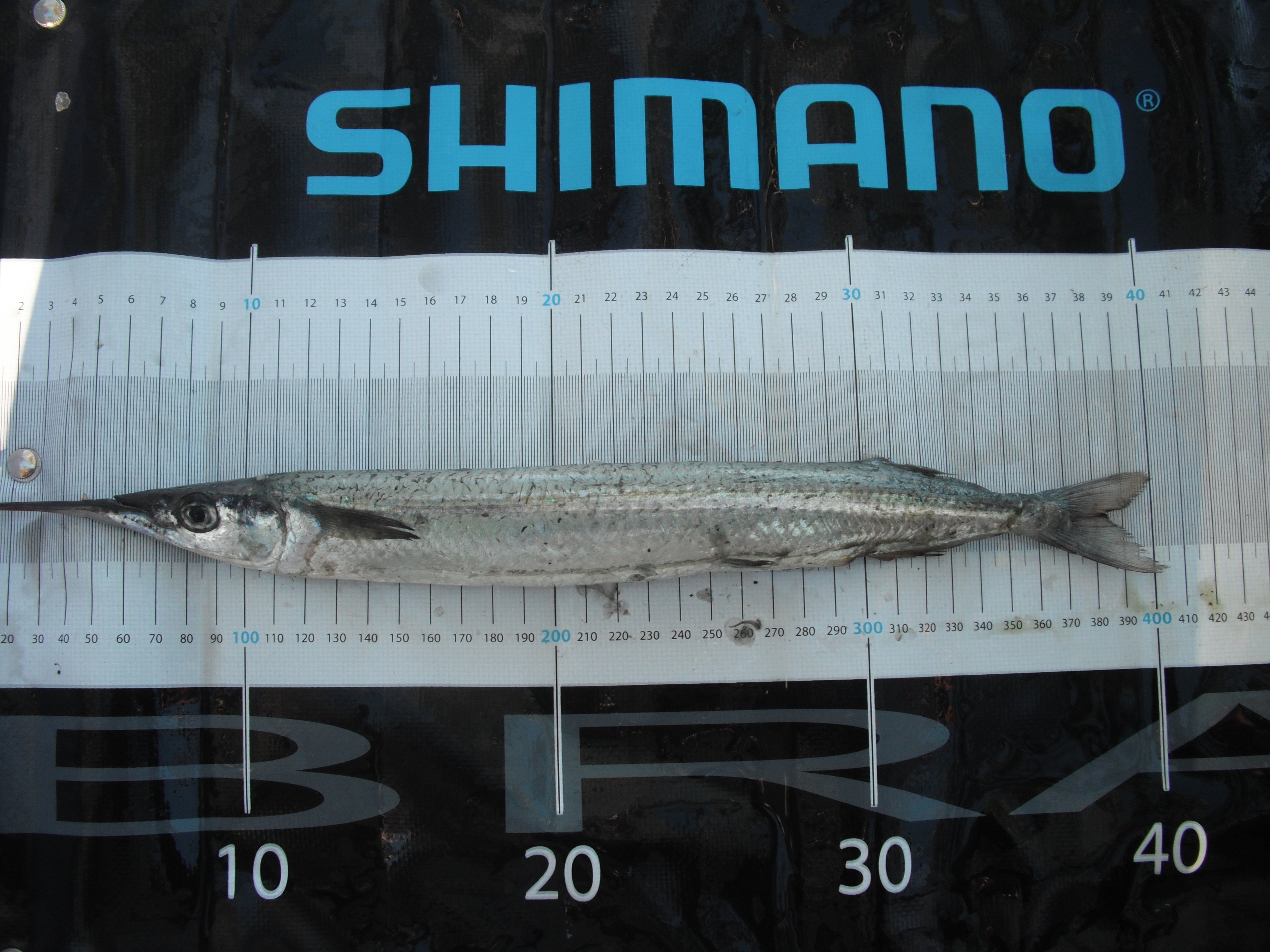 garfish tumby bay