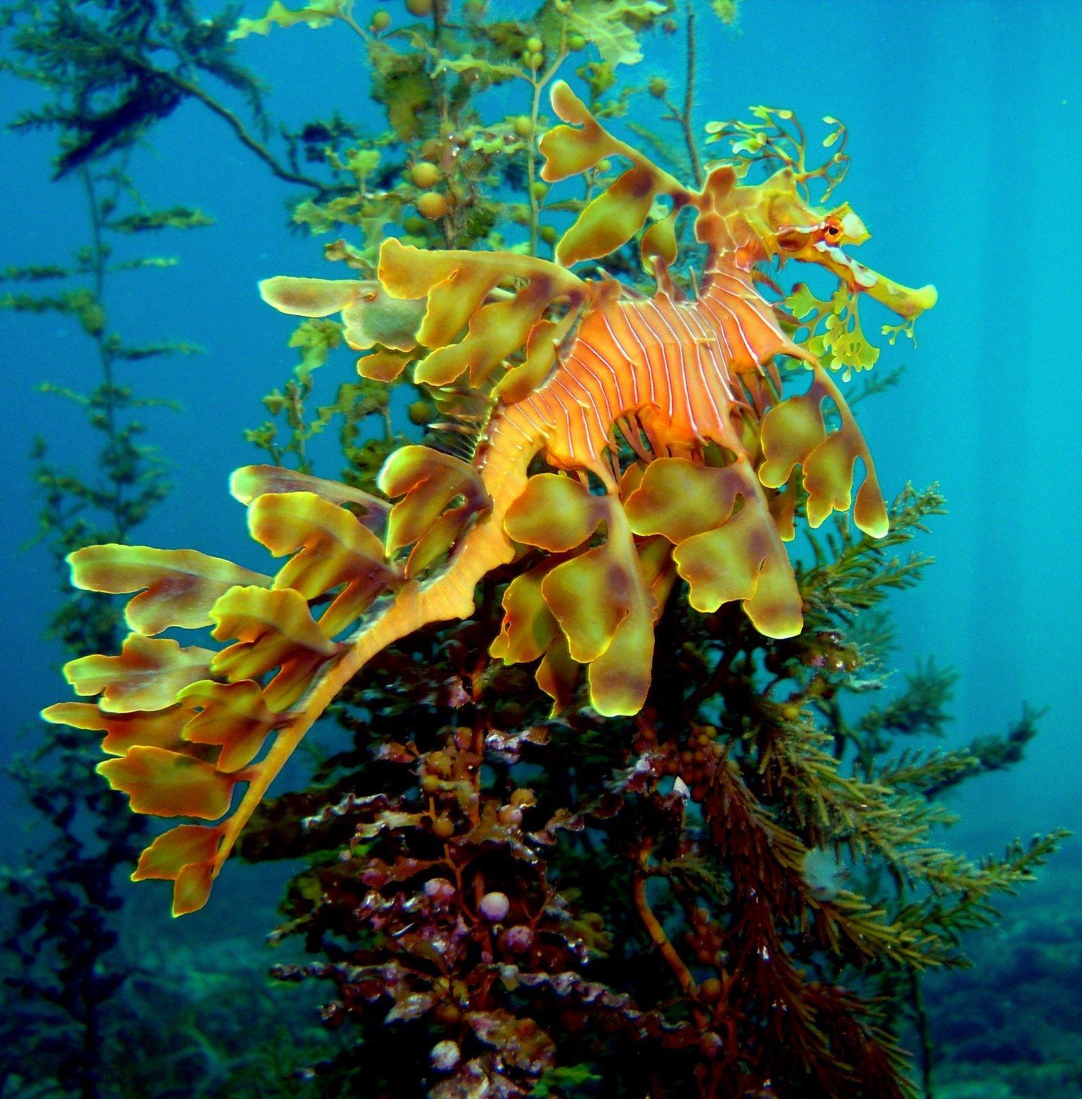 leafy seadragons tumby bay