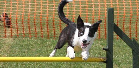 dog jumping a pole