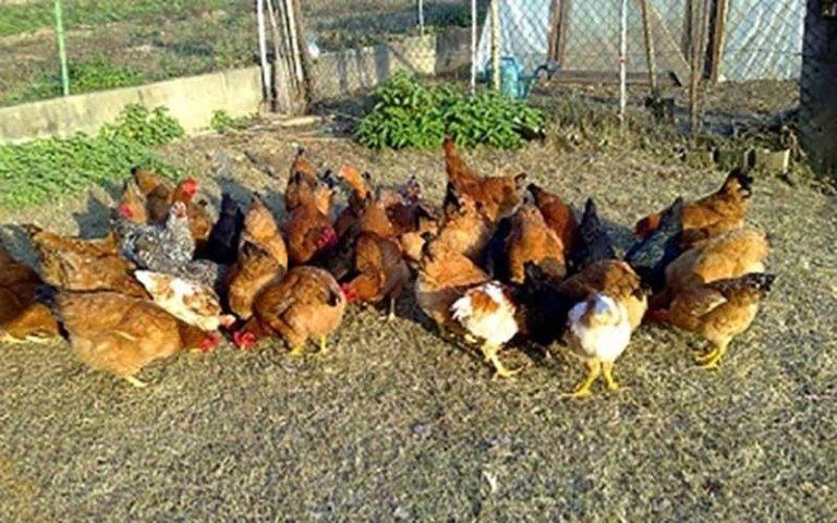 galline cascina