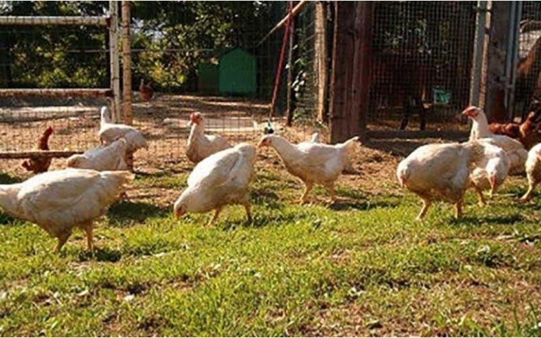 polli cascina