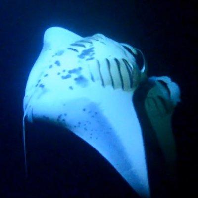 Manta Ray Night Snorkel » Hawaiian Outrigger Canoe Adventure