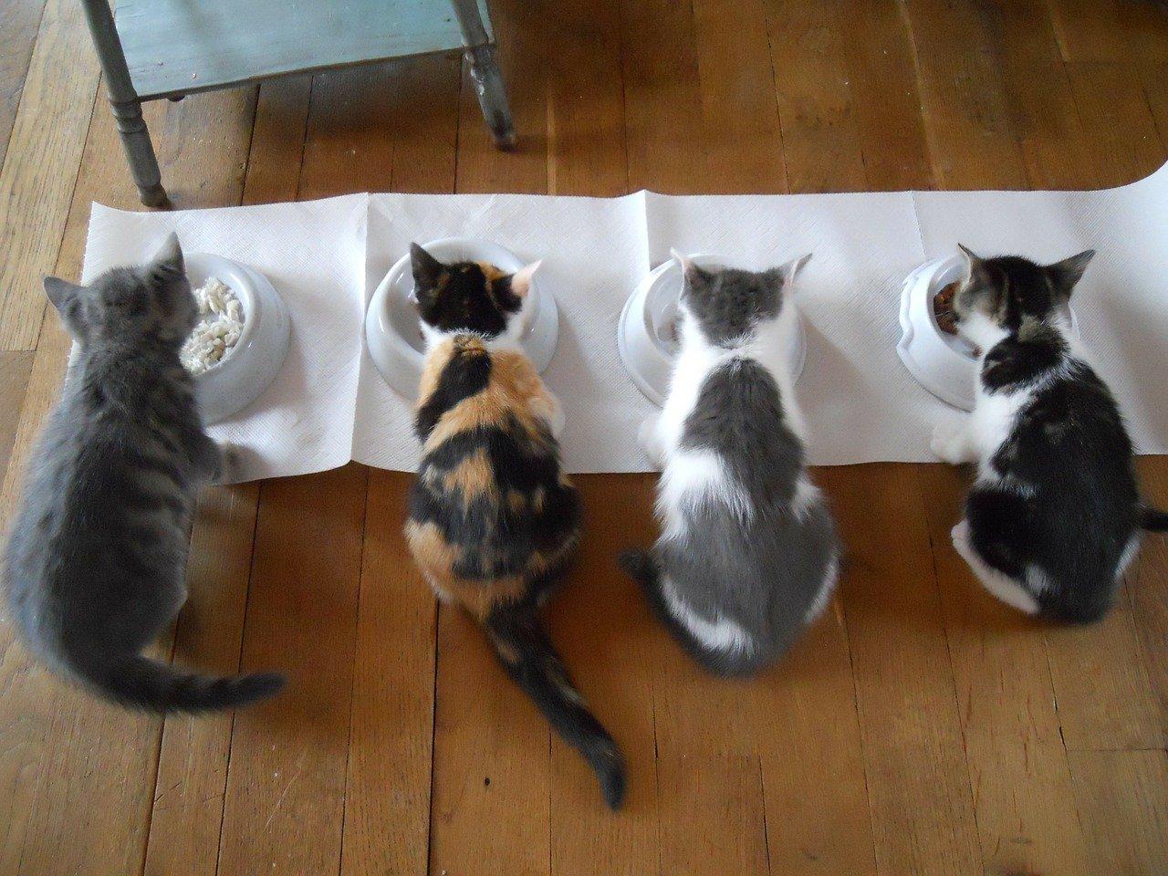 Cat feeding Colchester