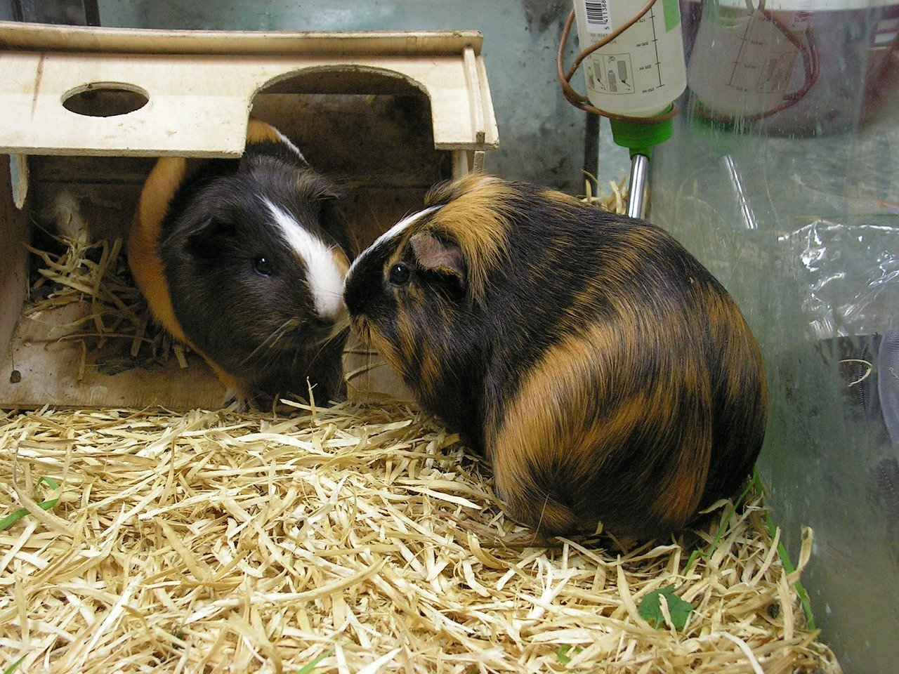 Smaller caged pet care for Guinea Pigs