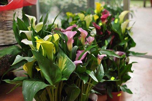 piante colorate e calle