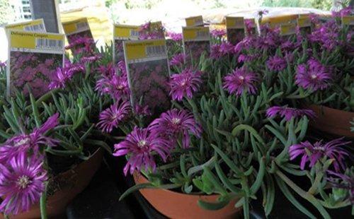 vasi con piante viola