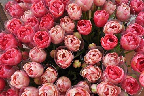 primo piano rose rosa