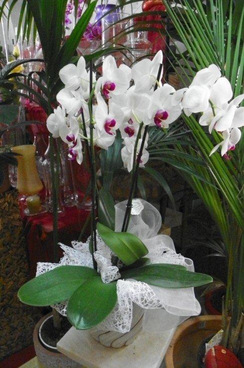 vaso con pianta di orchidea