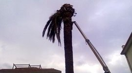 taglio palme