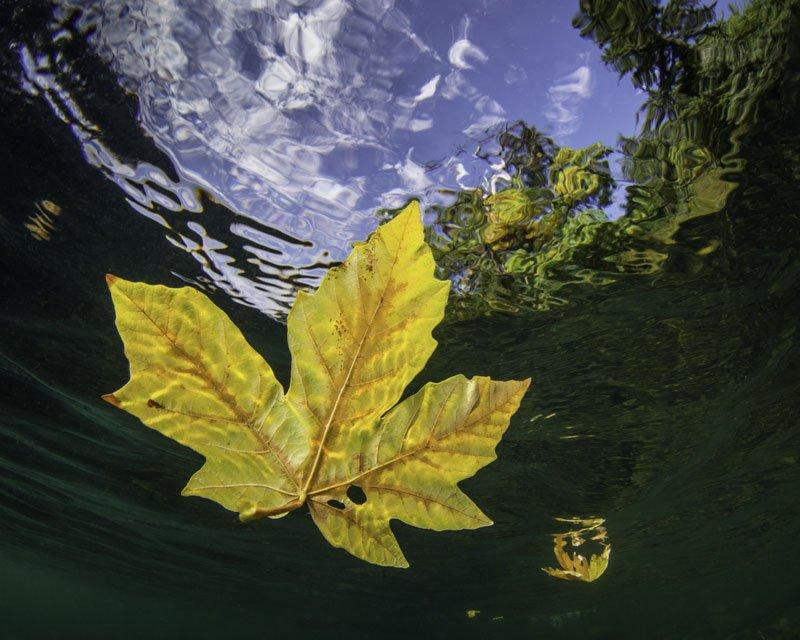 Maple Leaf by Eiko Jones - Photography