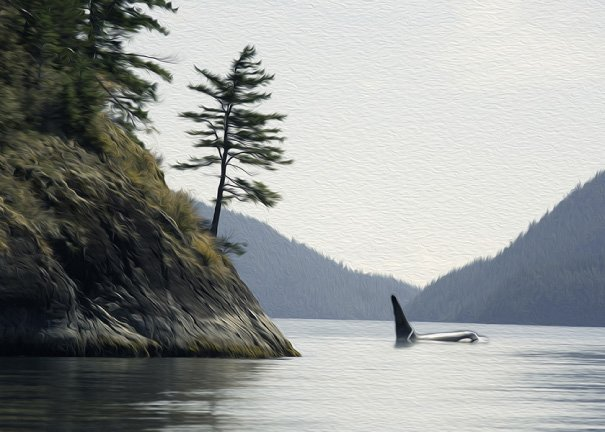 Male Orca by James Headrick - Still in Motion