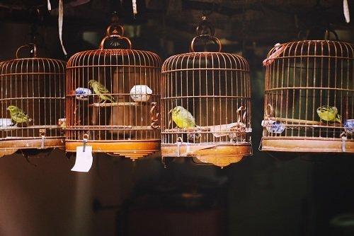 delle gabbie con degli uccellini