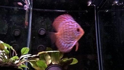 un pesce di color viola e rosa in un acquario
