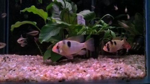 due pesci in un acquario