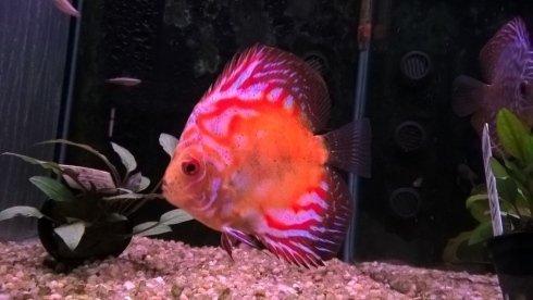 un pesce bianco, rosso e arancione in un acquario