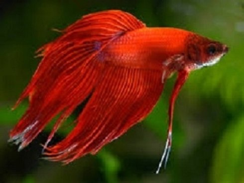 un pesce Combattente di color arancione