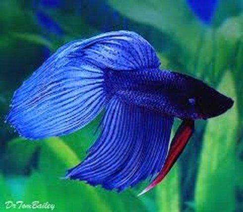 un pesce Combattente di color blu