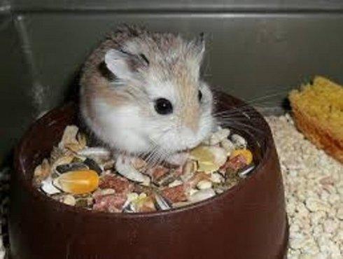 un topo' che mangia in una ciotola