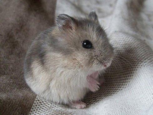 un topolino grigio