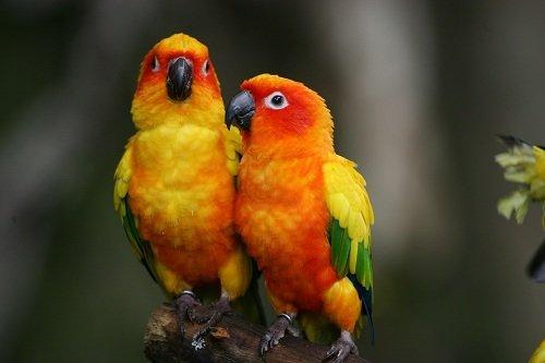 due pappagalli arancioni, gialli e verdi