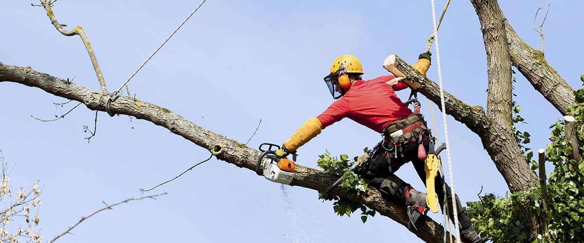 arborist-cuts-tree