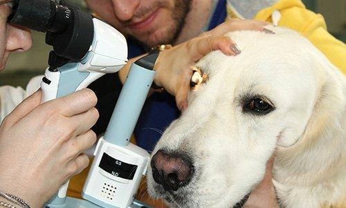 un labrador che riceve analisi della vista