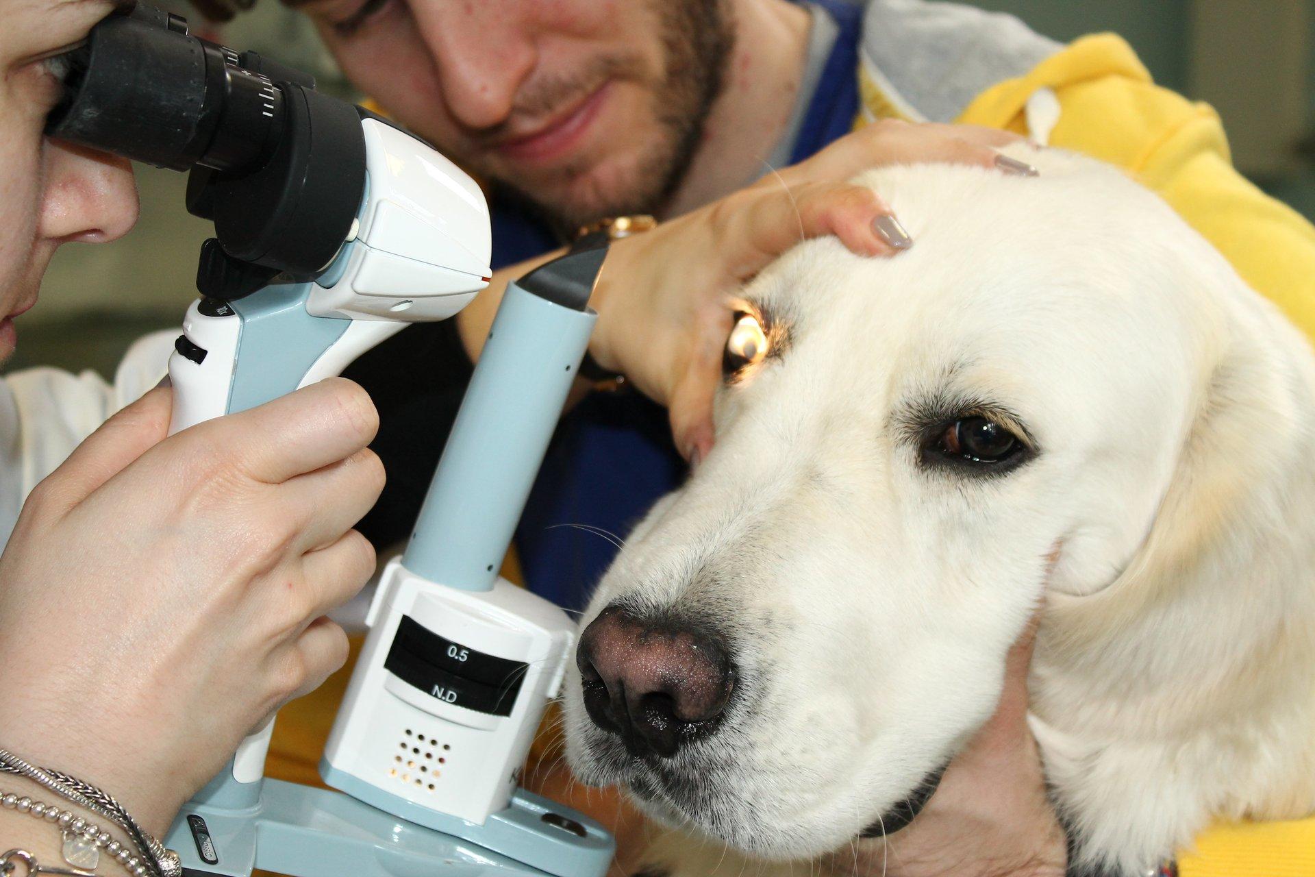 un labrador che riceve un esame oculistico