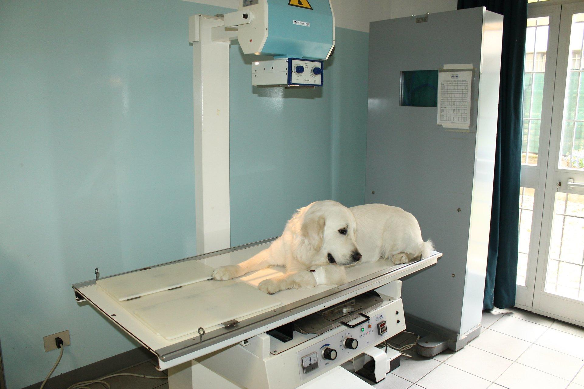un labrador che riceve una radiografia