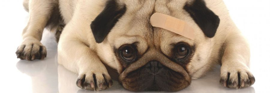 A puppy pug with a band-aid, recovering at our Cincinnati Animal Hospital