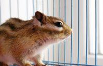 Chipmunk healing after visiting an animal hospital in Cincinnati