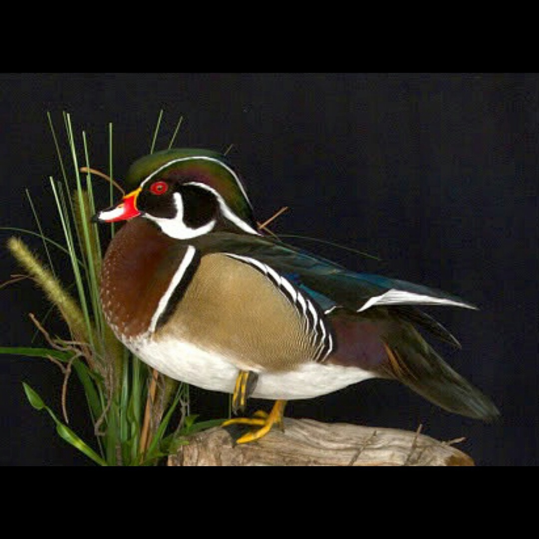 Wood Duck in Reeds