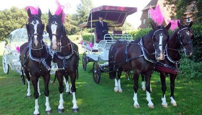 Two coaches pulled by black horses with pink plumage