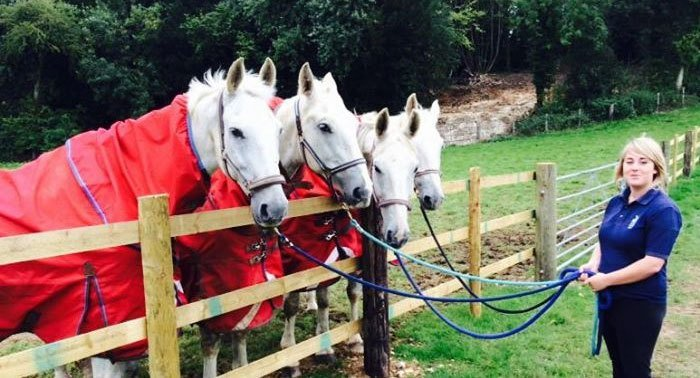Four white horses wearing red blankets, standing in a row behind a fence