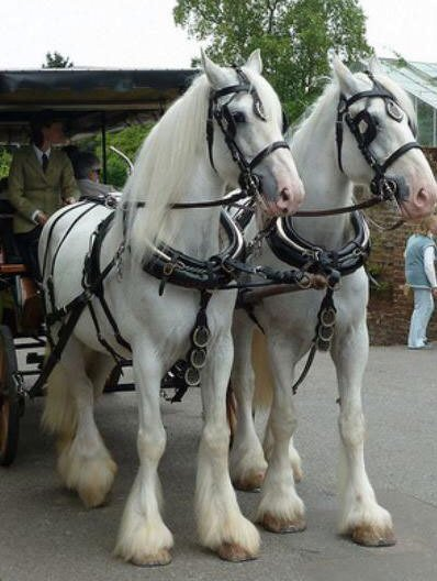 Two white shire horses