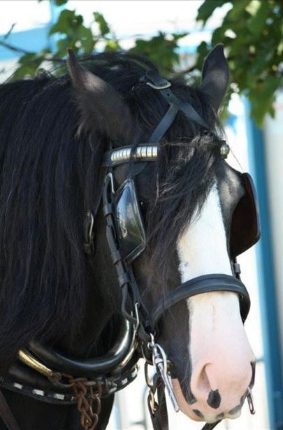 A black shire horse with a white muzzle