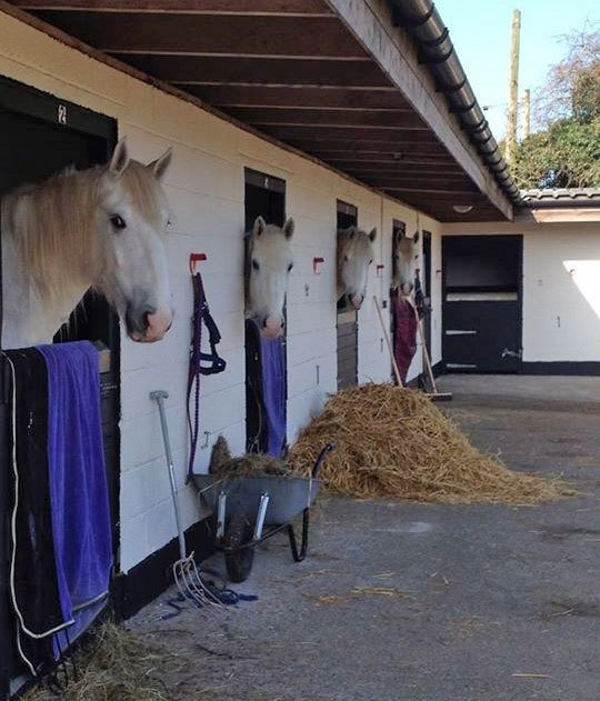 Horses peeping out of their stables