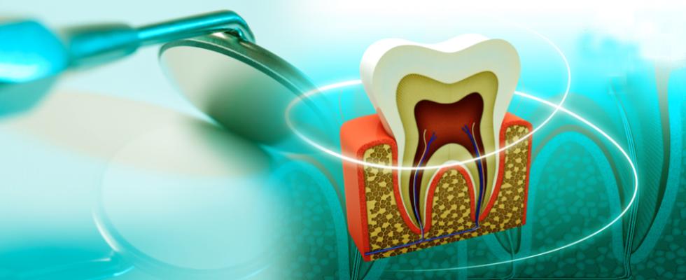 Disegno della sezione di un dente