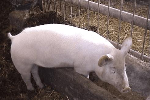 Nella fattoria sono presenti maiali, mucche e molti altri animali.