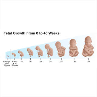biometria fetale