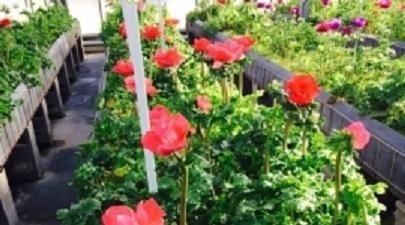 coltivazione fiori