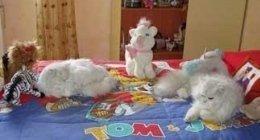 allevamenti di gatti