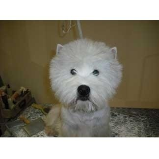 West Himgland White Terrier